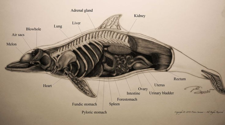 11 best images about Dolphins anatomy on Pinterest | Posts ...