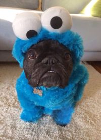 French Bulldog in Cookie Monster costume | Dogs ...