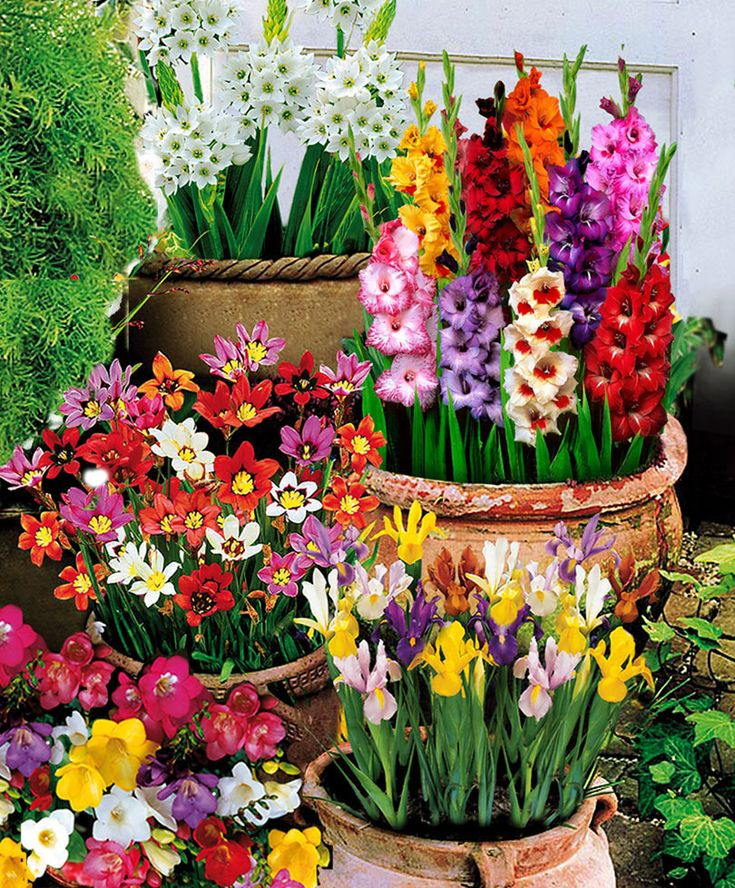 25 Best Ideas About Bulb Flowers On Pinterest Spring Bulbs