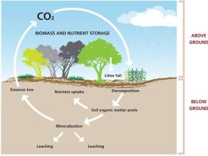 CARBON SINK areas of vegetation that absorb carbon