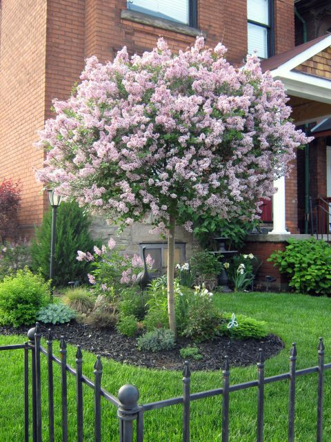 dwarf lilac tree. landscaping