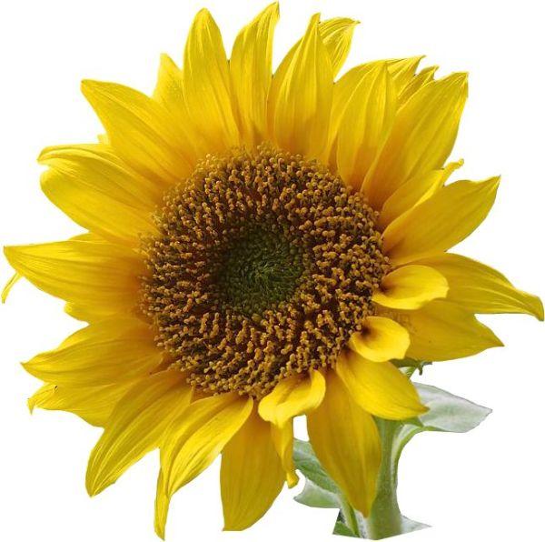 sunflower clip art . resolution