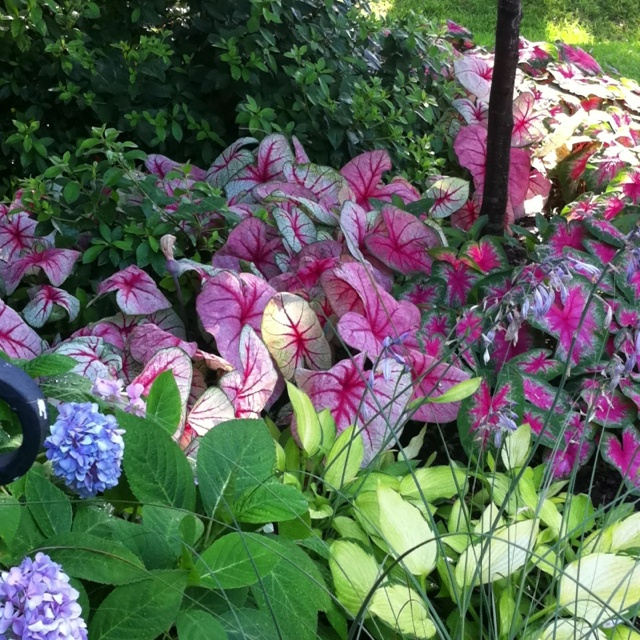 Hydrangeas, Hostas, Caladiums