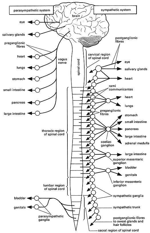 1000+ ideas about Autonomic Nervous System on Pinterest