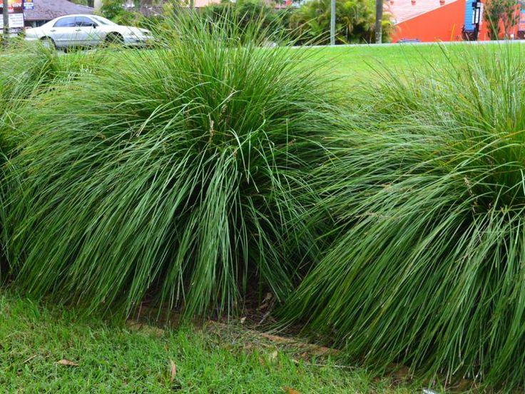 ornamental grasses nz