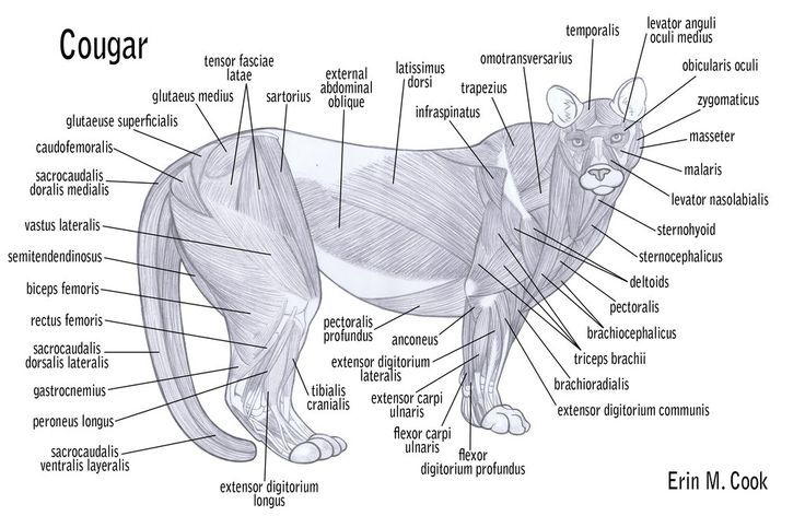 bird digestive system diagram precision bass wiring cougar anatomy - cerca con google   favs pinterest muscle, search and