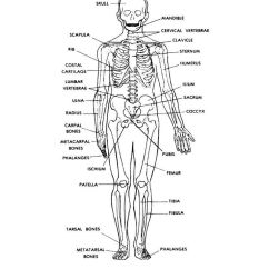 Meiosis And Mitosis Diagram Blank Emerson Motor Wiring Human Skeleton Labeled Back View | Anatomy Physiology Pinterest Skeletons, ...