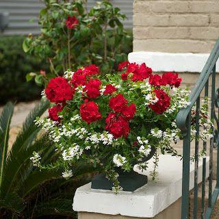 17 Best Ideas About Red Geraniums On Pinterest Geraniums