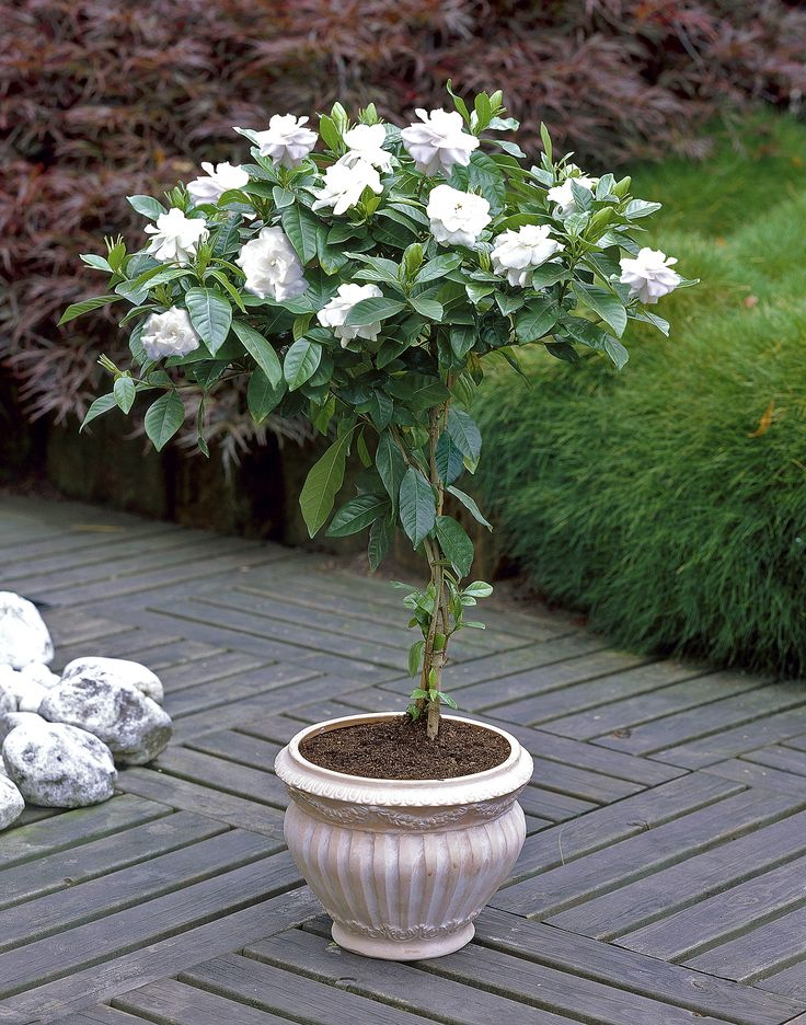 These Gardenia Trees are a great addition to any patio- they fill up your yard with a sweet fragrance, but require minimal maintenance!