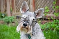 Mini Schnauzer wearing Glasses by Robin Sharp | dogs wear ...
