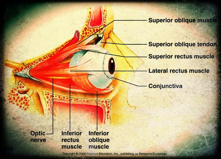 17 Best images about eye anatomy & histology on Pinterest ...