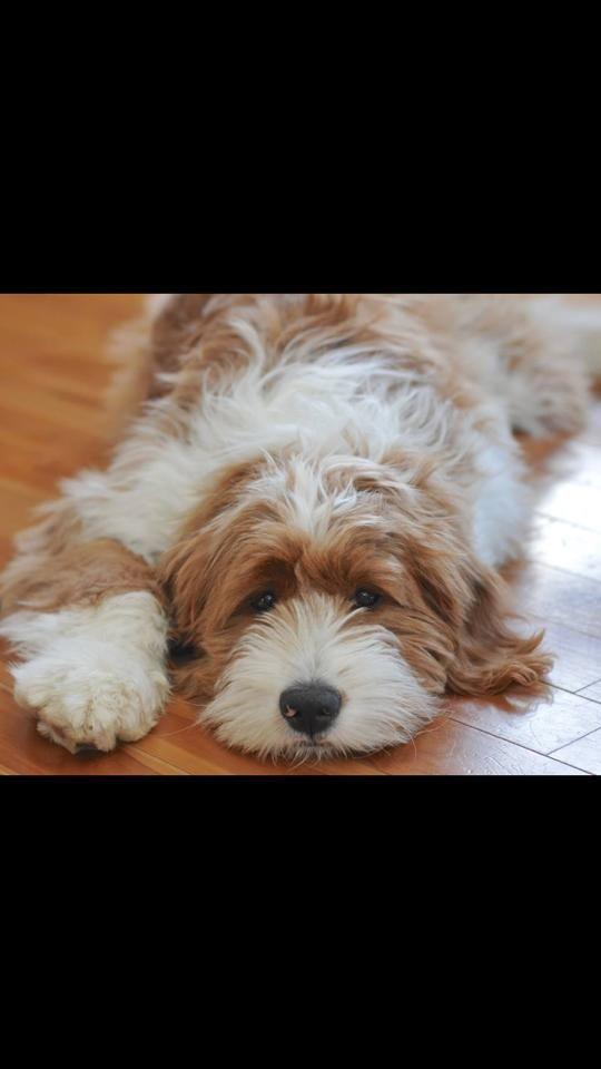 21 best Goldendoodle images on Pinterest