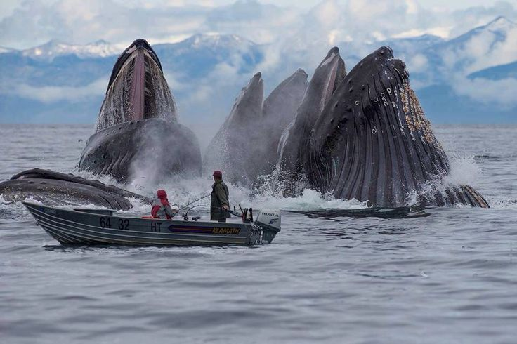Image result for Humpback whales feeding in alaska