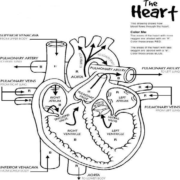 Human Heart Outline Printable