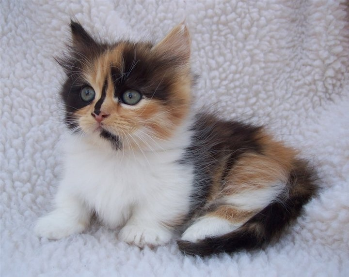 Calico Munchkin  My Past Kittens  Pinterest  Long Hair