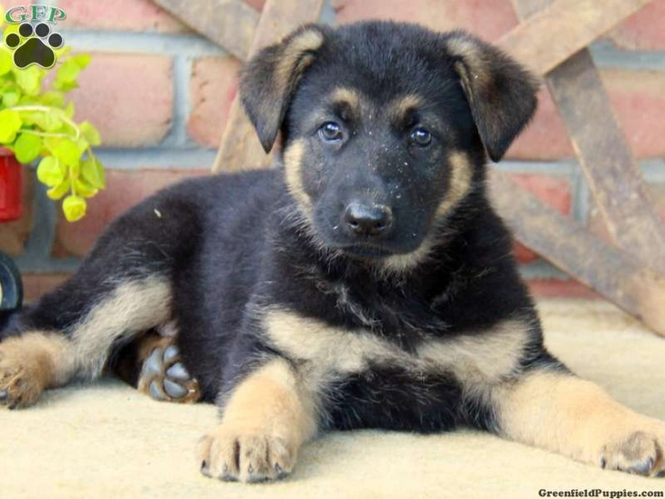 Jarvis German Shepherd puppy for sale from Lancaster PA