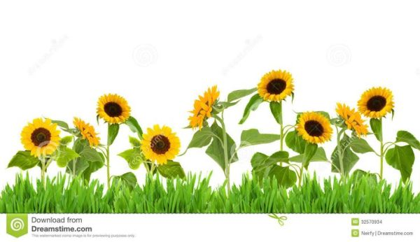 sunflower border clip art widescreen