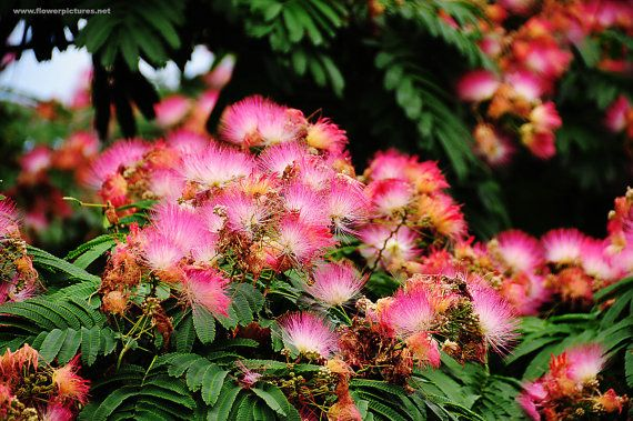 25 best ideas about Albizia julibrissin on Pinterest