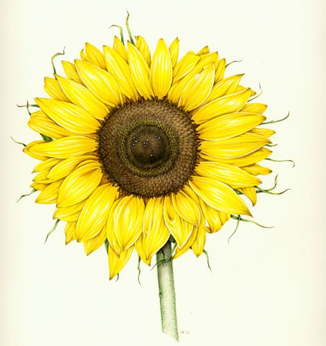 sunflower. botanical illustration