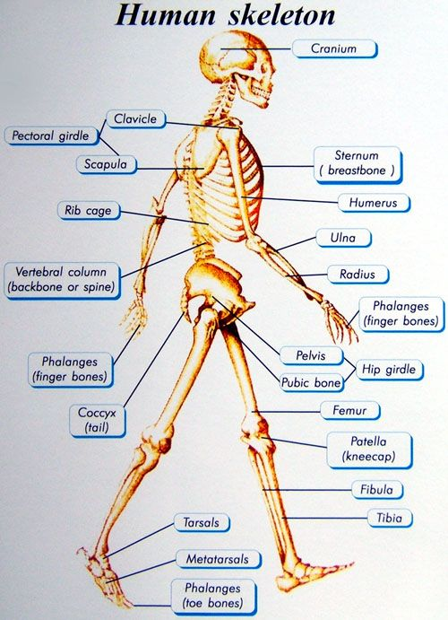 bones skeleton diagram with labels 5 pin boat trailer wiring basics of human skeletal system | trendy things pinterest activities, the o'jays and