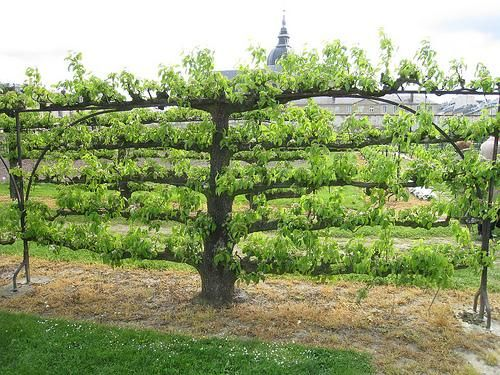 295 Best Images About GARDEN Espalier On Pinterest Trees Pears