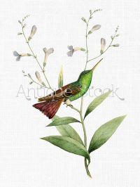 17 Best ideas about Hummingbird Illustration on Pinterest ...