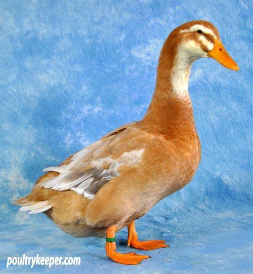 Saxony Vs Silver Appleyard Ducks