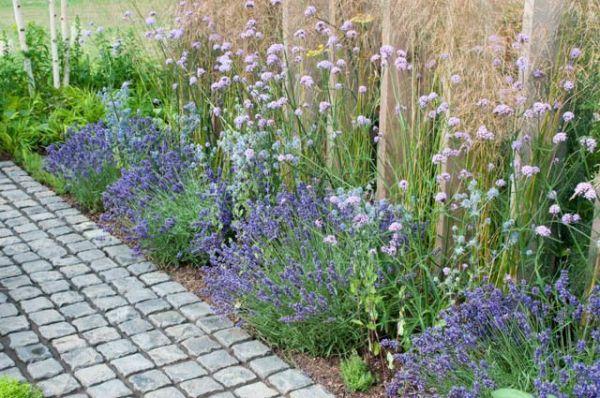 lavender hidcote verbena bonariensis