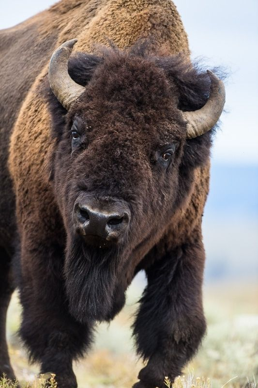 Best 25 American bison ideas on Pinterest