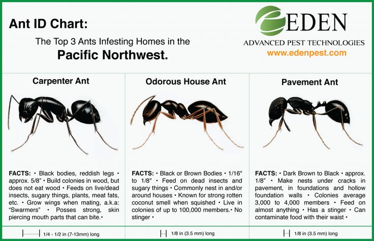 Ant ID Chart - Carpenter Ants Odorous House and Pavement ...