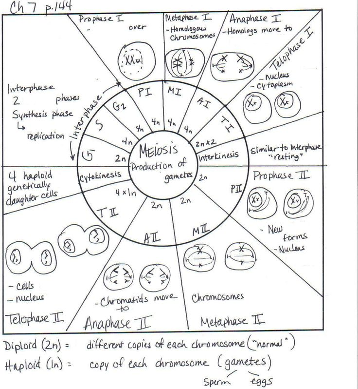 The Cell Cycle Coloring Worksheet Answer Key Coloring Pages