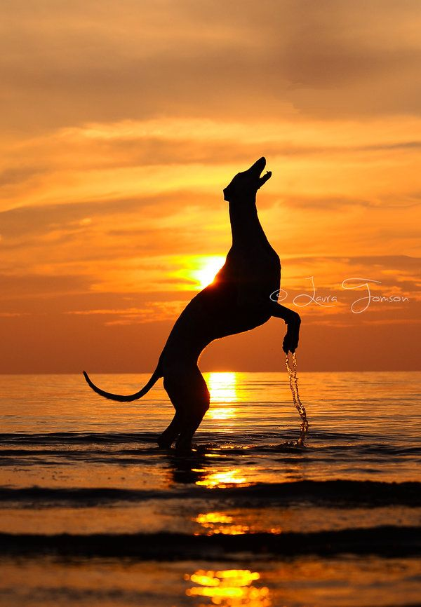 699 Best Images About Whippets On Pinterest Whippet