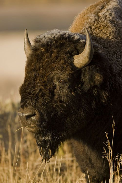 1000 images about Bison on Pinterest American bison