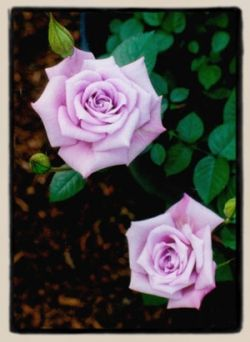 1000 images about Miniature Rose Care on Pinterest