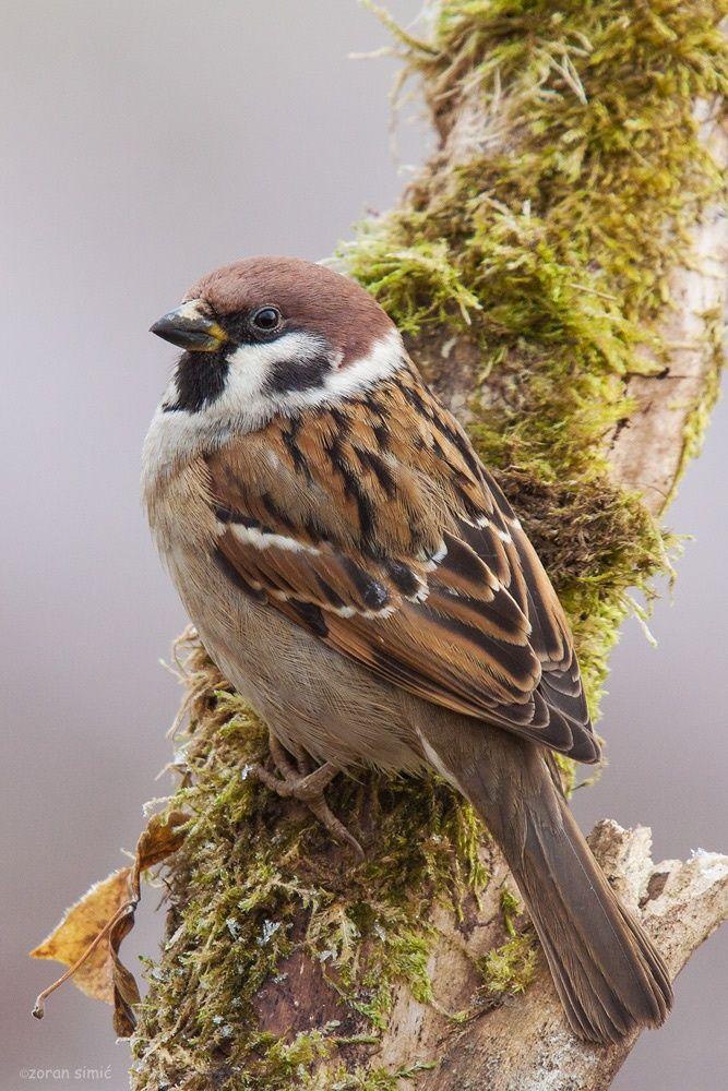 Best 25 House sparrow ideas on Pinterest
