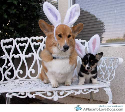 Cute Wallpaper Bunnies 17 Best Images About Corgis In Bunny Ears On Pinterest