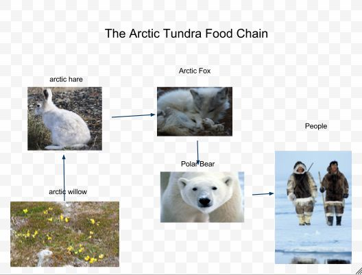 arctic fox food chain diagram cell phone network | ... .com/arctic/arctic-fox-food-web-chain-conveyor-design.htm animals
