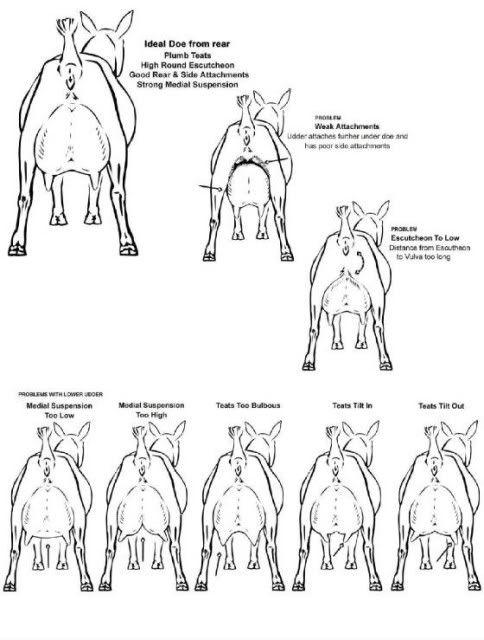 17 Best images about Livestock judging on Pinterest