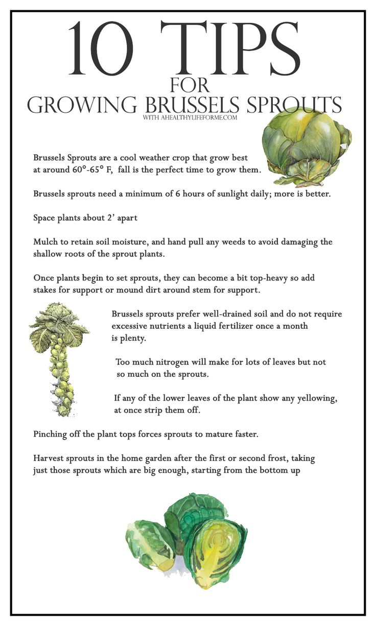 how to store brussel sprouts from the garden