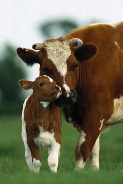 1000 ideas about Baby Cows on Pinterest Jersey Cows
