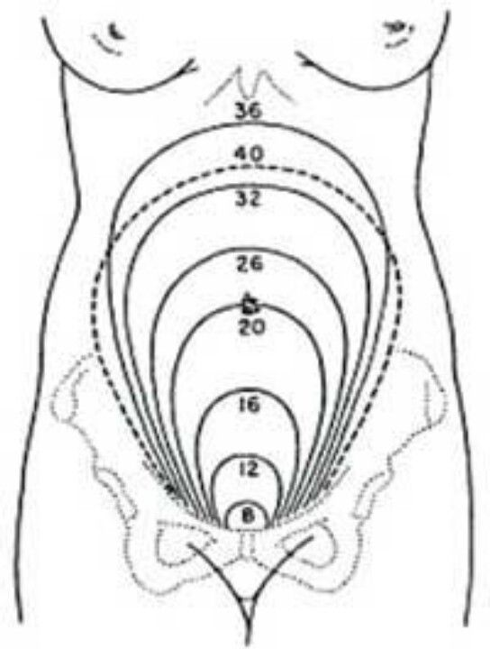 diagram of six months pregnant