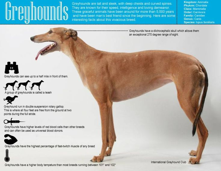 italian greyhound fun facts