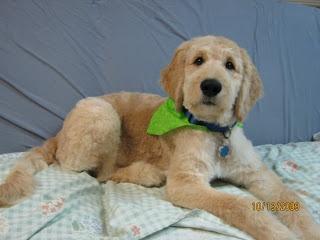 goldendoodle haircut puppy love pinterest goldendoodle haircuts goldendoodle and haircuts