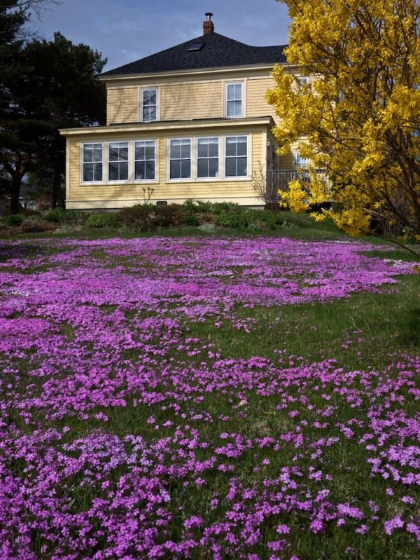 creeping thyme of grass