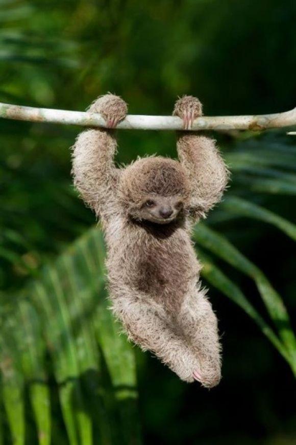 Baby Sloth  So Cute  Cutest Paw  cute  Pinterest