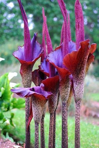 1000 images about Stinky Plants on Pinterest The plant