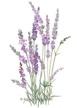 Lavender English Tall HEIRLOOM Seeds.  Perennial. This is the tall, old fashioned, wonderfully fragrant lavender; an extremely