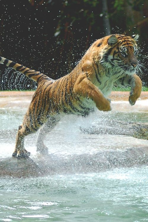 Create Your Own Iphone Wallpaper Online Tiger Leaping To Up Into The Water Tiger Pinterest