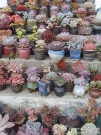 209 best Succulents images on Pinterest