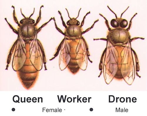 diagram of a queen bee coronary arteries branches the honey colony: hive consists three castes bees. queen• fertile female ...